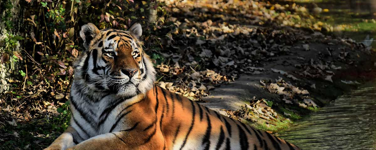 The best Quotes and Sayings about Tigers